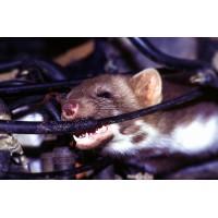 Завелась крыса в машине? Как избавиться от крыс в машине?