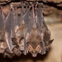 Как избавиться от летучих мышей?